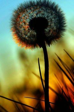 Dandelion: Picture, Life, Nature, Beautiful, Things, Flowers, Dandelions, Photography