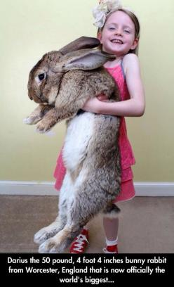 Darius The Giant Bunny // funny pictures - funny photos - funny images - funny pics - funny quotes - #lol #humor #funnypictures: Animals, 50 Pound, Biggest Rabbit, Bunnies, Darius