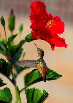 Delightful Hummingbird Photograph  - Delightful Hummingbird, Fine Art Print   ...........click here to find out more     http://googydog.com: Animals, Humming Birds, Nature, Hummingbird, Beautiful Birds, Flowers, Photo, Hummingbirds, Hummer