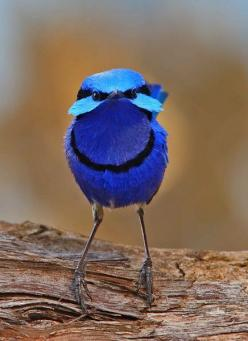Do you feed the birds in your garden? http://cutt.us/DSHU    The Secrets of Backyard Bird-Feeding Success: Hundreds of Surefire Tips for Attracting and Feeding Your Favorite Birds http://cutt.us/birdfeeder: Blue Wren, Animals, Birdie, Beautiful Birds, Fai