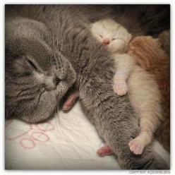 Doesn't Your Pet Deserve Great Healthcare? http://shrsl.com/?~7hbk #cat: Cat Kittens, Kisur Cats, Kittens Nap, Katte Cats, Cute Cats, Cats 4, Baby Kittens, Cats And Kittens