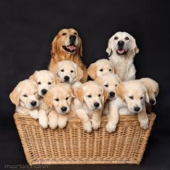 Dog Family - Golden Retriever - Puppies: Animals, Dogs, Golden Retrievers, Puppy, Family Photo, Families
