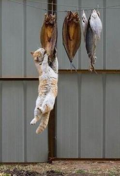 Don't bother with my dinner.  I've got it.  Go to www.YourTravelVideos.com or just click on photo for home videos and much more on sites like this.: Cats, Animals, Stuff, Fish, Pets, Funny, Nom Nom, Kitty, Photo