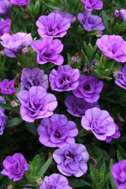 Double Calibrachoa or million bells.  Incredible annual for containers.   Single or double flowers in wide variety of colors.  Awesome in hanging baskets & hummingbirds love them.: Double Flowers, Double Lavender, Color, Purple Flowers, Double Calibra