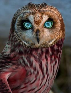 Dream owl. It's not cute enough for Cute Animals, eyes aren't nebula-ey enough for Space!... I'll put it here!: Cute Animal, Animals, Buho Real, Animal Eye, Real Cat Eye, Blue Eyes, Birds, Owls