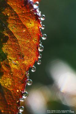 drop by Nodie Yang, via 500px: Nodie Yang, Water Drops, Macro Photography, Autumn, Raindrop, Dew Drops, Rain Drops, Dewdrop, Water Droplets