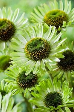 Echinacea 'green jewel'  // Great Gardens & Ideas //: Garden Ideas, Color Green, Nature, Beautiful Flowers, Jewels, Green Flowers