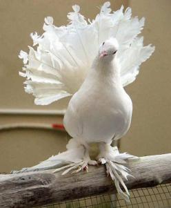 """English Fantail Pigeon - English Fantail (commonly referred to as just """"Fantail"""") is a highly developed breed of fancy pigeon. The Fantail, along with other varieties of domesticated pigeons, are all descendants from the Rock Pigeon (Columba livia"""