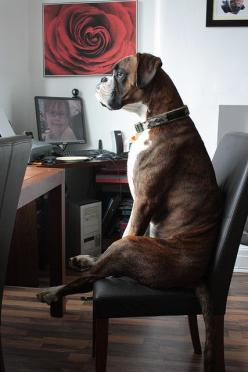 Erin...!  After a busy morning at the office, he paused to look out the window...: Boxer Dogs, Funny Boxer Dog, Dog Boxer, Boxers Dog, Cute Boxer Dog, Funny Pet, Dogs Boxer, Animal