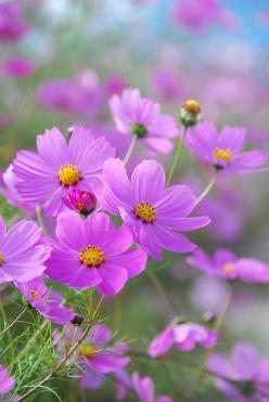Et par øreringe i denne farve skal hedde Cosmos. Name for jewellery?Cosmos: Posts, Plants, Beautiful Flowers, Cosmos Flower, Flowers, Photo, Flowers Garden, Pink Cosmos