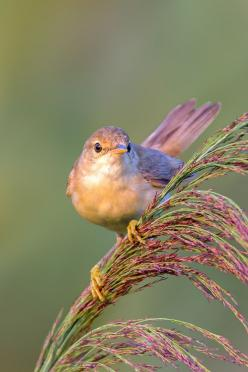 Eurasian reed warbler by Roberto Melotti*: Animals, Eurasian Reed, Robertomelotti, Poultry, Beautiful Birds, Photo