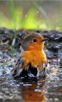 European Red Robin taking a bath to clean its feathers. #PANDORAloves this amazing photo of the cute little bird.: Robin, Animals, Poultry, Beautiful Birds, Photo, Bath Time