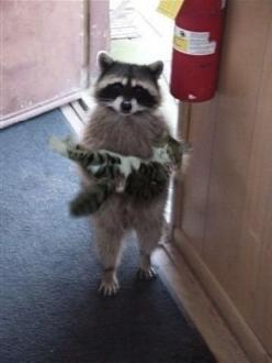 Excuse me, is this your kitten?: Cats, Animals, Kitten, Stuff, Pet, Raccoons, Things, Funny Animal