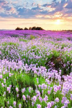 expressions-of-nature:  Purple Sea, Bulgaria by Evgeni Dinev: Field Of Flowers, Wildflowers, Color, Beautiful Landscape, Beautiful Places, Beautiful Flowers, Garden, Beautiful Nature