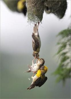 Extraordinary Timing... Mother and Father saving a baby bird from falling. wow... Photo Credit: unknown: Photos, Babies, Nature, Beautiful, Animals Birds Mammals Reptiles, Things