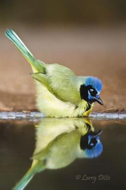 fairy-wren:    green jay: Birds Birds, Birdie, Jay Reflection, Green Jay Beautiful, Animals Birds, Bird Reflections, Beautiful Birds, Fairy Wren