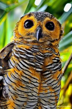 featheroftheowl:  via Spotted Wood Owl by Aditya Rangga  Strix seloputo (Strigidae): Aditya Rangga, Animals, Spotted Wood, Beautiful Birds, Woods, Owls, Owl
