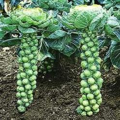 First cultivated in the 13th century and a close relative to cabbage, the Brussels Sprout has to be one of the strangest vegetables.: Growing Brussels, Brusselsprouts, Late Night, Cabbage, Brussels Sprouts, Food, Grow Brussel, Vegetable Garden, Brussel Sp