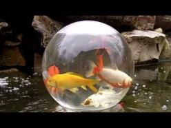 Fish bowl on your pond! Cool idea!: Koi Pond Ideas, Backyard Ponds, Koi Ponds, Pet, Cool Ideas, Hometalk, Fish Ponds, Bowls
