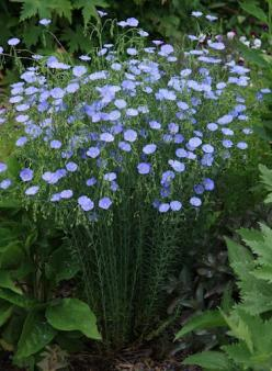 Flax - one hearty plant that come up year after year - and the deer won't eat it!: Garden Ideas, Deer Won T, Deer Resistant, Plants, Hearty Plant, Blue Flax