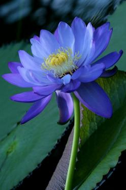 flowersgardenlove:  Water lily Flowers Garden Love: Waterlily, Blue Color, Lotus Flowers, Waterlilies, Beautiful Flowers, Blue Flower, Water Lily, Water Lilies, Flower