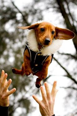 : Flying Sausage, Animals, Sausage Dogs, Dachshund, Doxies, Weiner Dogs, Wiener Dogs
