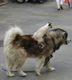 Follow that cab! why is it so funny to me to see a cat riding a dog?: Cats, Animals, Friends, Dogs, Pets, Funnies, Funny Animal