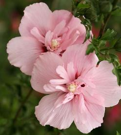 For a pop of pink, add this late-blooming Pink Chiffon Rose of Sharon. More blooming trees and shrubs: http://www.bhg.com/gardening/trees-shrubs-vines/trees/new-tree-shrub-varieties/?socsrc=bhgpin042013pinkchiffonrose=11: Gorgeous Flowers, Pink Chiffon, O