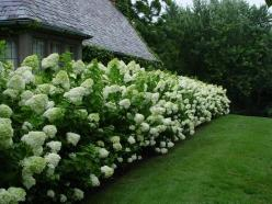 For side fence...Limelight hydrangeas. They grow up to 8 ft tall, can grow in full sun or shade and can tolerate dry soil. Beautiful!: Limelight Hydrangea, Tolerate Dry, Garden Outdoor, Full Sun, Dry Soil, Backyard, Gardening Outdoor, Hydrangeas
