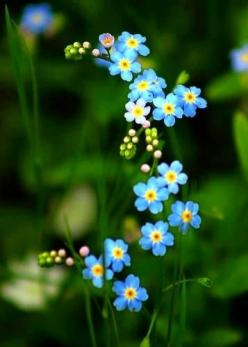 Forget-Me-Nots - My daughter gave the seeds of this flower as favours to her wedding guests. Brilliant idea, I thought!: Beautiful Flower, Flowers, U.S. States, Forget Me Not Flower, Favorite Flower