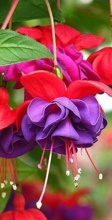 * Fuchsia~Dark Eyes  Hummingbird favorite!: Hummingbird Favorite, Eyes Hummingbird, Outdoor Plants, Fuchsia Flower, Flowers Plants, Beautiful Flowers, Fuchsia Dark Eyes, Fuchsia Hybrid, Favorite Flower