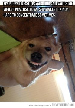 """FUNNY! And since I am such a grammar/spelling Nazi... The fact that the word """"practice"""" was spelled wrong almost made me not want to pin this lol it's PRACTICE NOT PRACTISE!: Funny Animals, Funny Dogs, Funny Pictures, Funnies, Puppy, Yoga"""