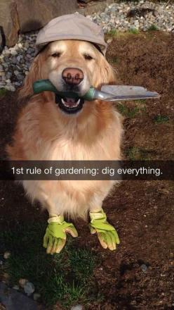 Funny Animal Pictures Of The Day – 25 Pics: Funny Animals, 32 Pics, Funny Golden Retriever, Dogs, Golden Retrievers, 1St Rule, Pet Owner, Dog Snapchat