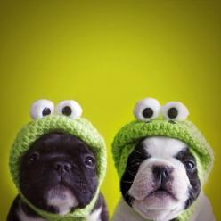 Funny dogs picture of French Bulldogs or Boston Terriers. The dogs are wearing green hats representing frogs. Hats were made from knitted fabrics. Want to get this kind of hats for you dog(s)?!  *Picture featured on www.bterrier.com: Frog Dog, Animals, Do