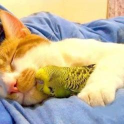 Fur and feathers. - Imgur: Cats, Animals, Budgie, Sweet, Friends, Pets, Odd Couple, Birds