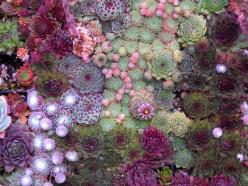 gathering of the hens and chicks...: Ideas, Color, Beautiful, Plants, Gardening, Gardens, Delicious, Flower