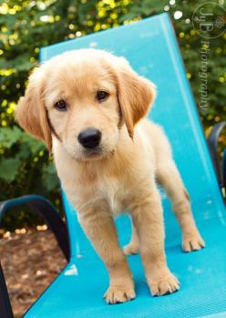 Golden Puppy: Cute Puppies, Pet Portraits, Puppies Dogs, Pet Dogs, Golden Retrievers, Golden Puppy, Cute Dogs, Animal, Golden Retriever Puppies