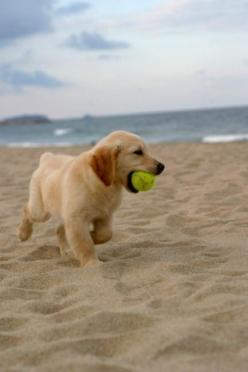 Golden retriever puppies are the absolute cutest things on earth! Can't wait to do this with my puppy.: Beaches, Animals, Dogs, Golden Retrievers, Pet, Puppys, Puppy