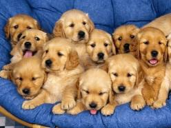 Golden retriever puppies galore: Animals, Goldenretrievers, Dogs, Golden Retrievers, Pets, Puppys, Adorable, Golden Retriever Puppies