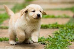 Golden retrievers are superb pets: Animals, Dogs, Golden Retrievers, Pet, Puppys, Golden Puppy, Golden Retriever Puppies, Golden Retriever