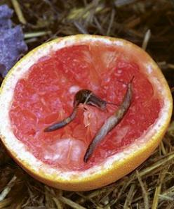 Grapefruit rinds... 35 other pest remedies for the garden as well... - Gardening For You: Garden Problems, Simple Solutions, Garden Pests, 35 Natural, Gardening Pest, Disease Remedies, Natural Remedies