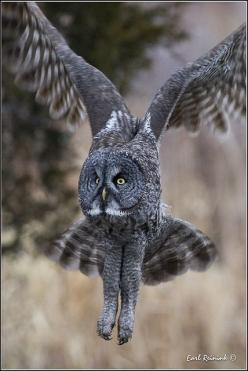 Great Gray Owl (20111227-1334), via Flickr.: Gray Owl, Owl Birdsofprey, Birds Owls, Birdsofprey Birdofprey, Owl 20111227 1334, Owl, Owl Photos, Grey Owl, Animal