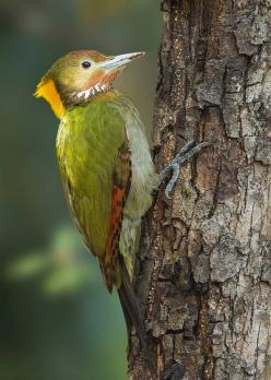 Greater yellow nape: Yellow Naped Woodpecker, Nature Birds, Greater Yellownape, Yellownape Picus, Animals Birds, Greater Yellow Naped, Yellownape Chrysophlegma, Birds Feathers, Birds Woodpeckers