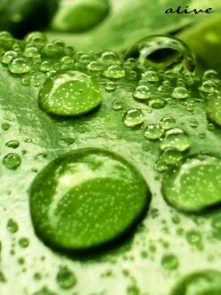 Green Leaves w/ Dew Drops: Green Color, Waterdrop, Green Green, Raindrops, Dewdrops, Rain Drops, Dew Drops, Photo, Water Droplets
