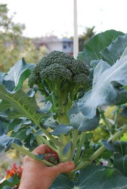 Growing Broccoli in the Garden; very detailed, los of information: Gardening Vegetable, Vegetables Garden, Garden Edible, Edible Food, Vegetable Gardening