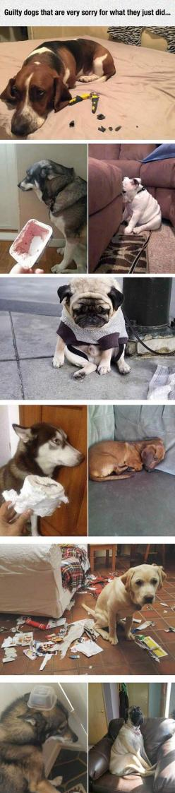 Guilty Dogs: Funny Animals, Funny Dogs, Dog Shaming, Guilty Dogs, Funny Pictures, Poor Dog, Dog Pictures, Dogs Life, Friend
