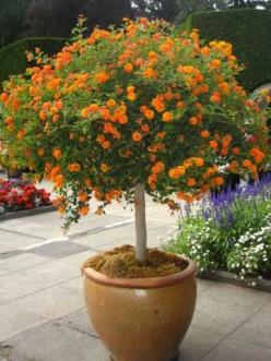 Have never seen Lantana in tree form! Nice! To start a lantana tree, plant a small plant in spring, into a larger container. Begin shaping the tree as soon as new growth begins. Attach the stem (sometimes multiple stems) to a support like a bamboo stake,