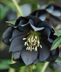 Hellebore, Onyx Odyssey. Perennial, full shade to part sun. Blooms in spring.: Black Garden, Plants, Black Flowers, Beautiful Flowers, Gardens, Onyx Odyssey, Gothic Garden, Odyssey Hellebore