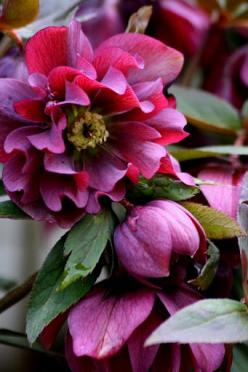 Hellebores bloom in late WINTER: Winter Flower, Flowers Plants, Shade Garden, Beautiful Flowers, Hellebores Flower, Hellebores Bloom, Double Hellebore, Botanical Gardens