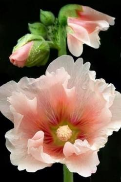 ❤ Hollyhocks www.PAD Beautiful These beauties were near the kitchen entrance to our home in Minnesota.: Hollyhock Flower, Flowers Plants, Beautiful Flowers, Pink Hollyhock, Bloom, Garden, Flower, Beautiful Hollyhock, Favorite Flower